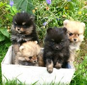 Super süsse Pomeranian Welpen