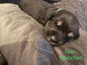 Schäferhund mix und Appenzeller Welpen