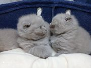 scottish fold bkh 1 kater