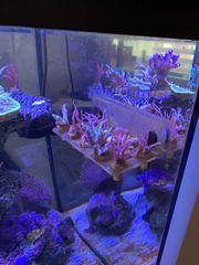 Korallenableger Meerwasser Seriatopora Montipora