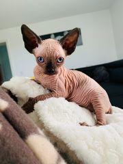 Sphynx-Kitte zu verkaufen