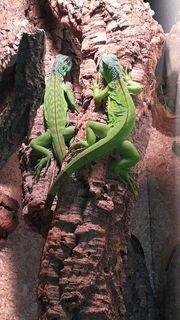 2 schöne Grüne Leguane mit