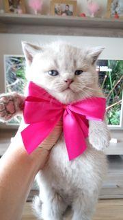 Skottisch Fold Streicht Kitten
