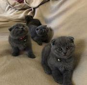 Reinrassige BKH Kitten BKH Blue