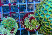 Meerwasser Korallen Rasta Zoas Zoanthus