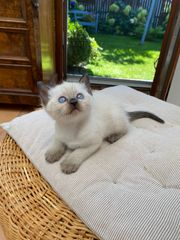 Zauberhafte Birma-Kitten