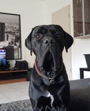 Hund Cane Corso Italiano 3