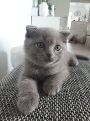 BKH Scottish Fold Kätzchen