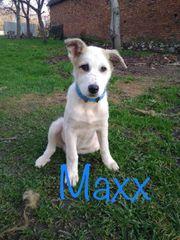 Welpenbub Maxx sucht Zuhause mit