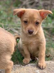 Chihuahua Rehpinscher Mix Welpen