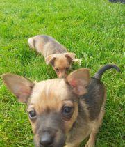 Repinscher Chihuahua Mix Welpen