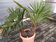 Palme Trachycarpus Fortunei