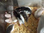 Ratten zu verkaufen