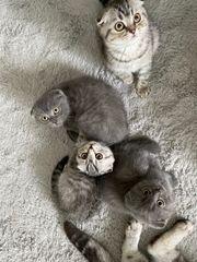 Scottish Fold Babys Katzenbaby Kitten