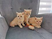BKH kitten British Kurzhaar Katze