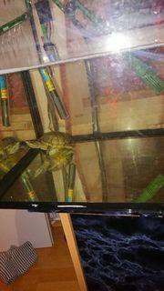 2 Moschusschildkröten Wasserschildkröten mit Aquarium