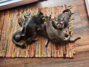 Süße Tiger-Katzenbabys