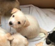 Malteser English Toy Terrier Welpen