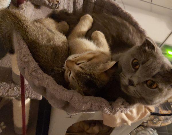 Skotisch Fold Kätzchen