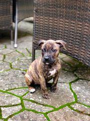 Boxer-Mischling Welpe sucht liebevolles Zuhause