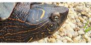 Landkarten-Höckerschildkröte Weibchen