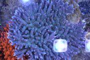 Ableger Meerwasser Korallen