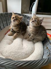BKH Kitten 3Weibchen Chocolate Golden
