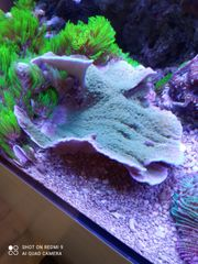 SPS Korallen günstig abzugeben