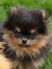 Pomeranian Zwergspitz Welpe