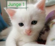 5 Khao Manee Mix Kitten