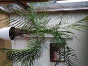 2 große Palmen für drinnen