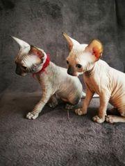 5 süße Sphynx Kitten
