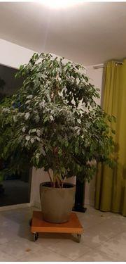 Ficus bejamini mit Lechuza Pfalnztopf