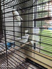 kanarienvogel in weiß rezessiv