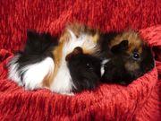 Strubbelige Baby Meerschweinchen Mädels