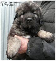 Sarplaninac Welpen Herdenschutzhunde