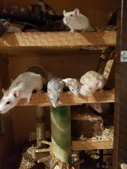 Ratten aus Kontrollierter guter Zucht