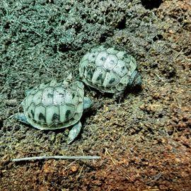 Bild 4 - 5 Griechische Landschildkröten THB adult - Salach