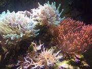 Meerwasser Anemone Korallen