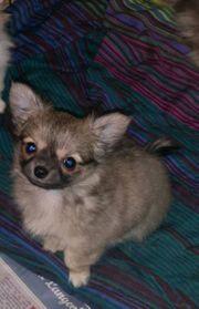 xs Chihuahua