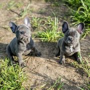 Französische Bulldogge in black tan