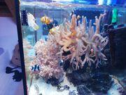 Sinularia XXL Weichkoralle Meerwasser