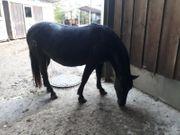 Pony Rappstute PLATZ VOR PREIS
