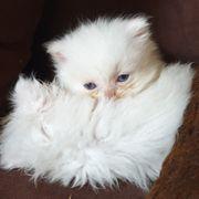 Reinrassiger weißer Perser Kater Baby