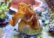 Meerwasser Palythoa Grandis 4-5 Krustenanemonen