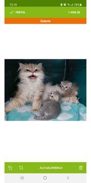 Perser-Bkh Mix Kitten