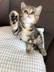 1süßes Britisch Kurzhaar Kätzchen
