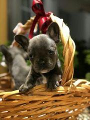 Reinrassige französische Bulldogge Welpen