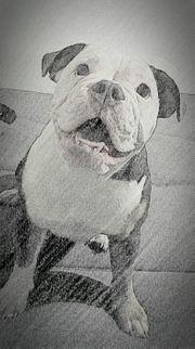 Old English Bulldogge Weiblich