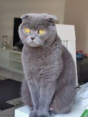 Britisch Kurzhaar Scottisch fold Katze
